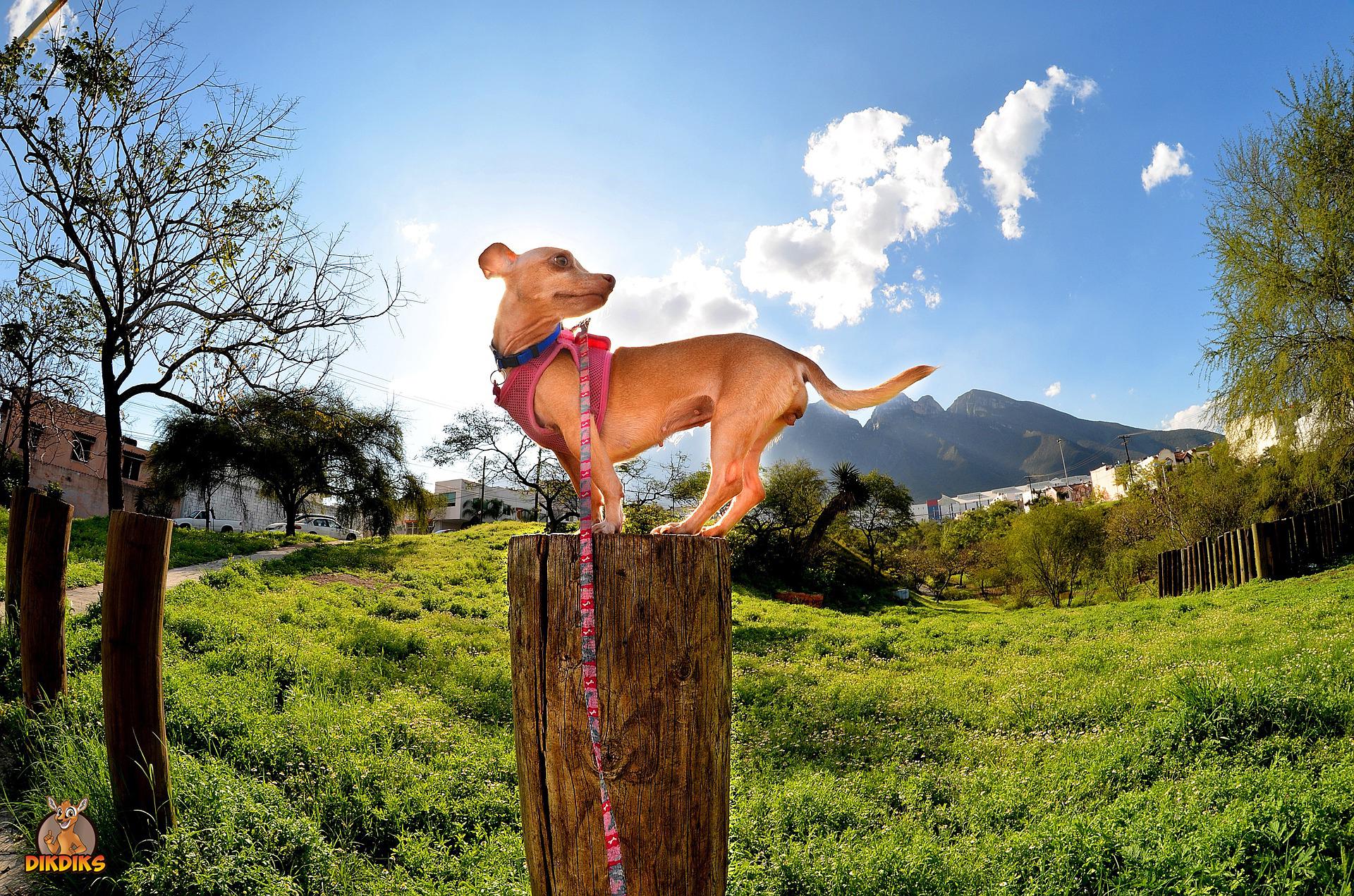 Chihuahua-Kommandos-trainieren