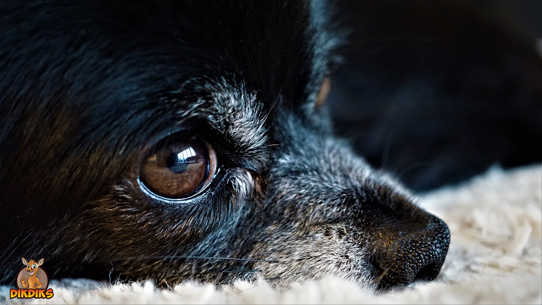 Chihuahua-Rassebeschreibung