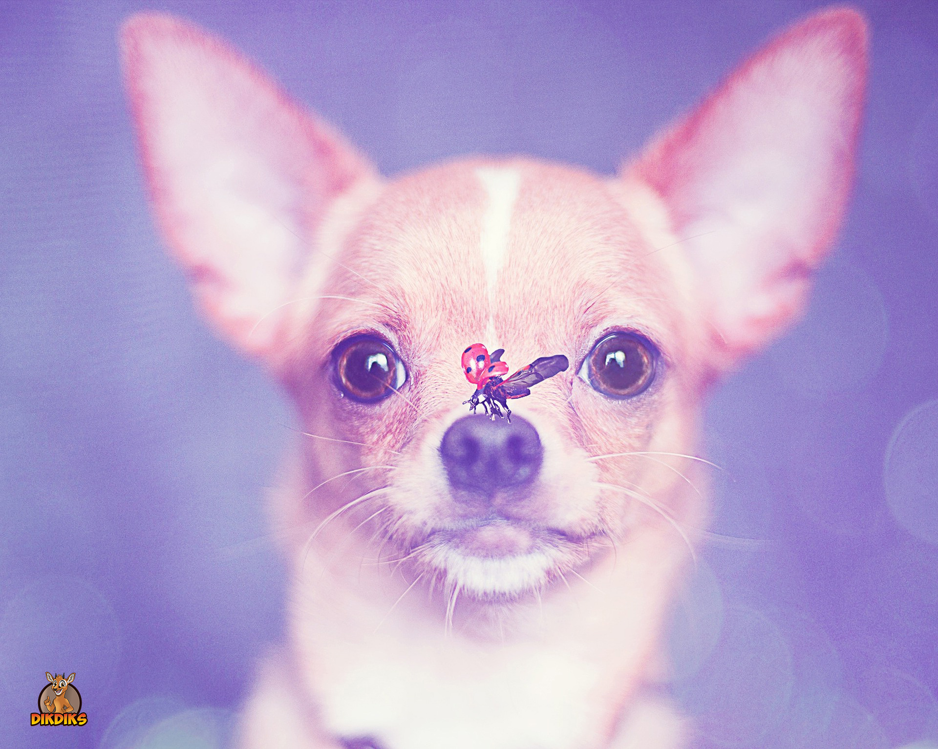 Chihuahua-Welpe-mit-Marienkäfer