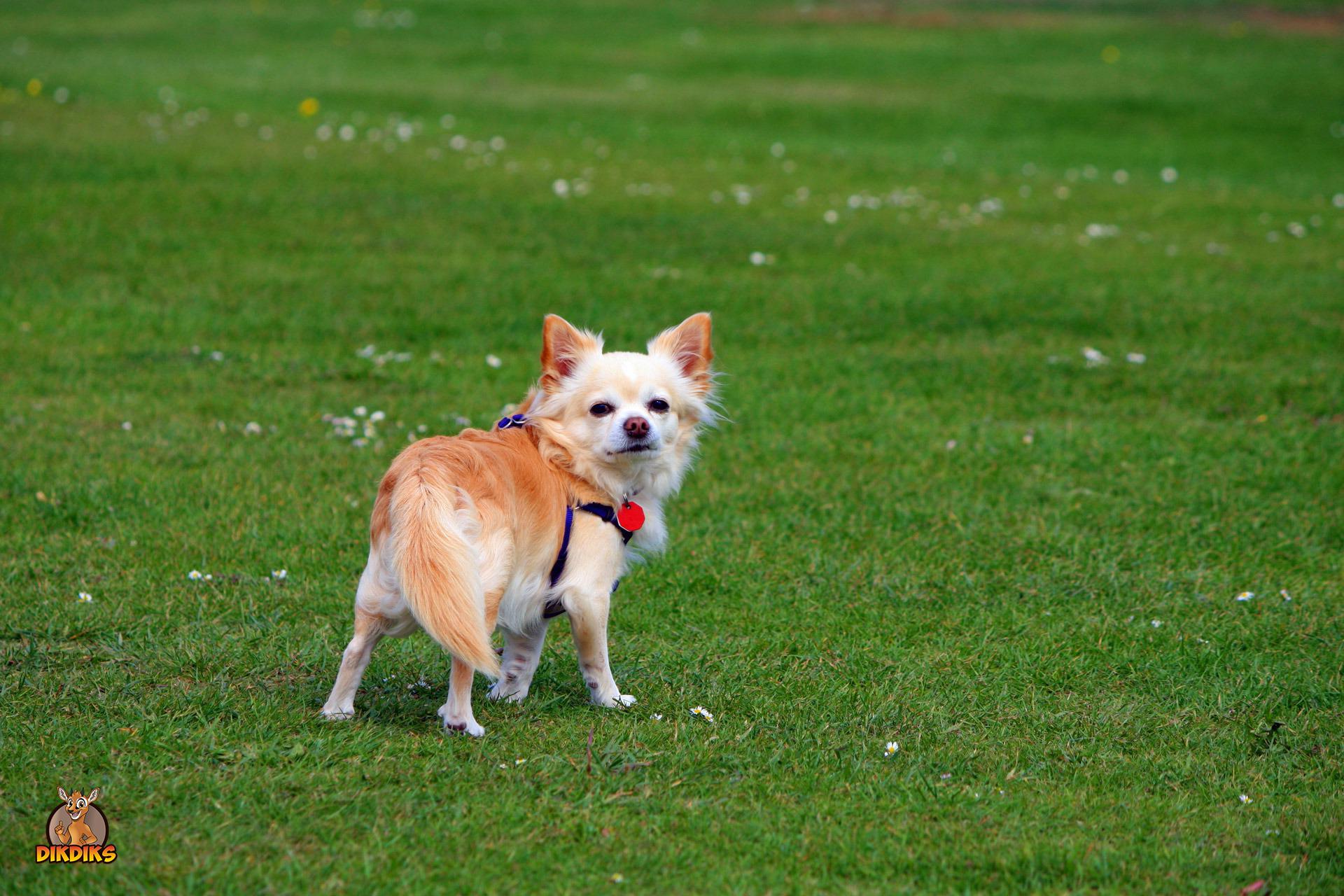 Chihuahua auf dem Hundeplatz