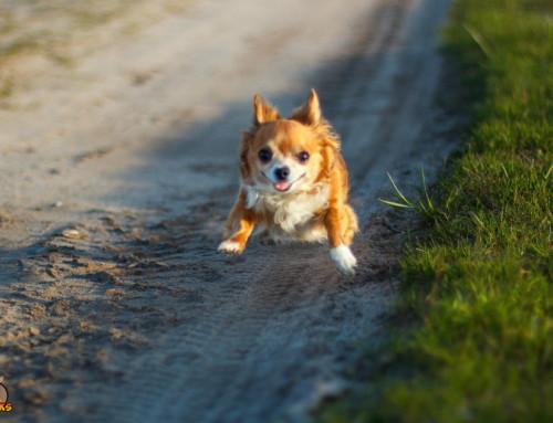 Die Wichtigkeit des Trainings für Deinen Chihuahua