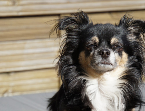 Die Erziehung des erwachsenen Chihuahua