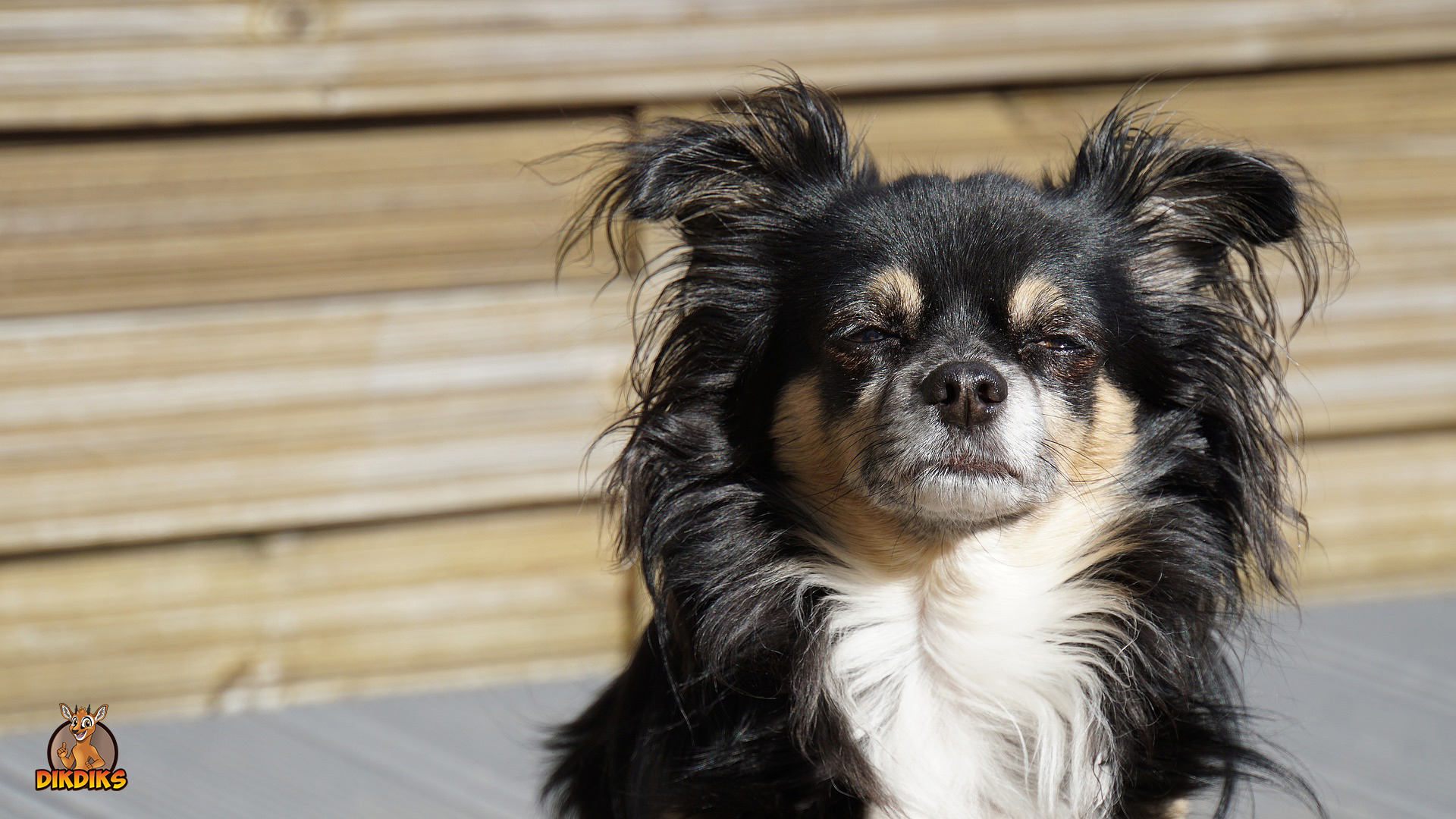 Erwachsenen-Chihuahua-Erziehung