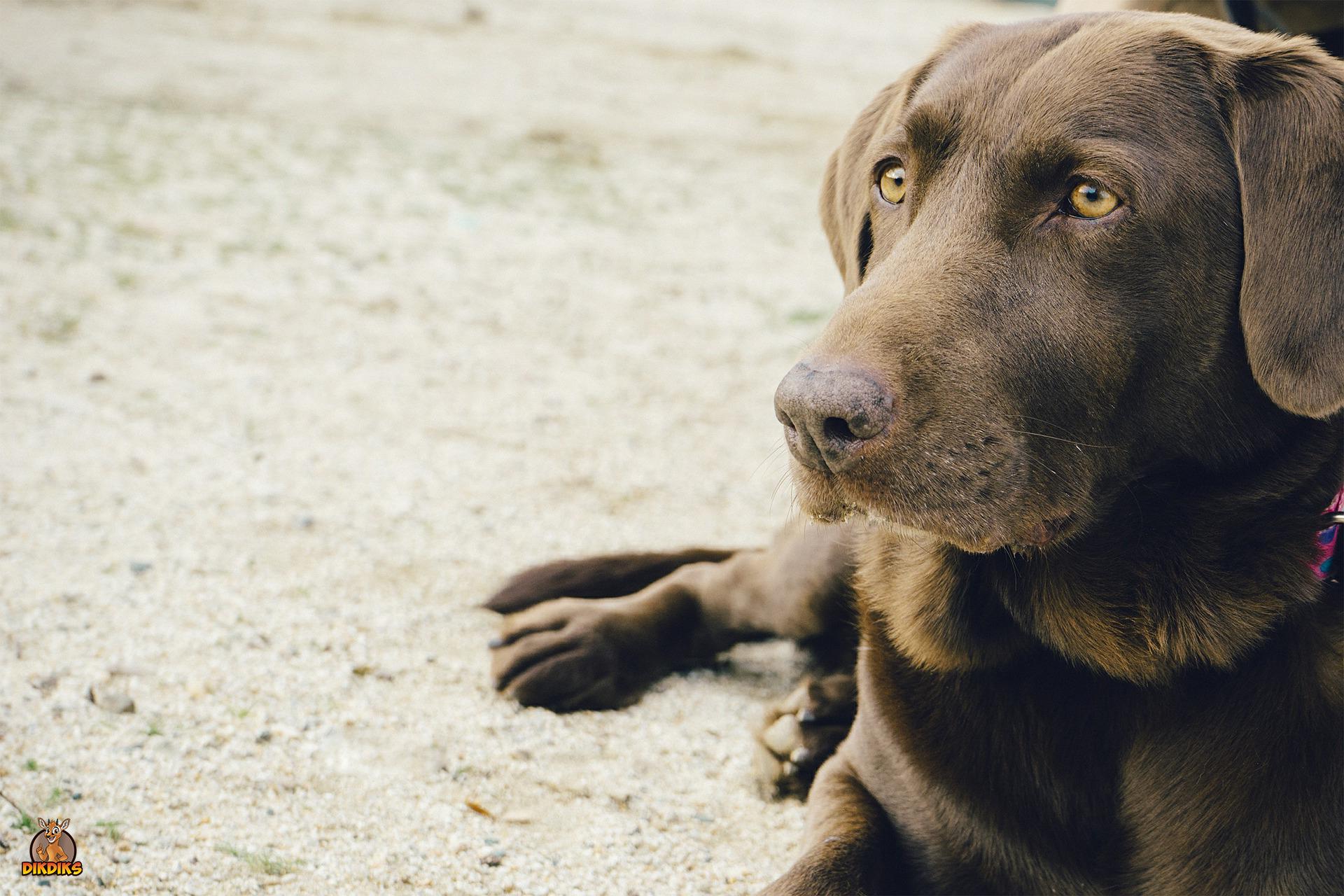 Labrador-Retriever-Erziehung