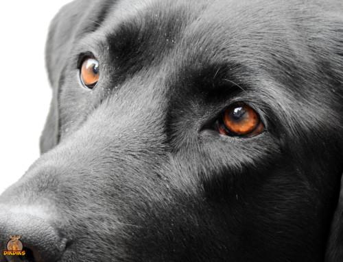 Rassebedingte Krankheiten Deines Labrador Retrievers