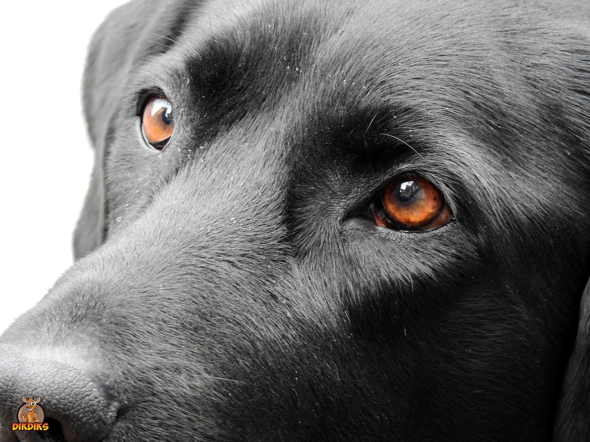 Labrador-Retriever-Krankheiten-und-Gesundheit
