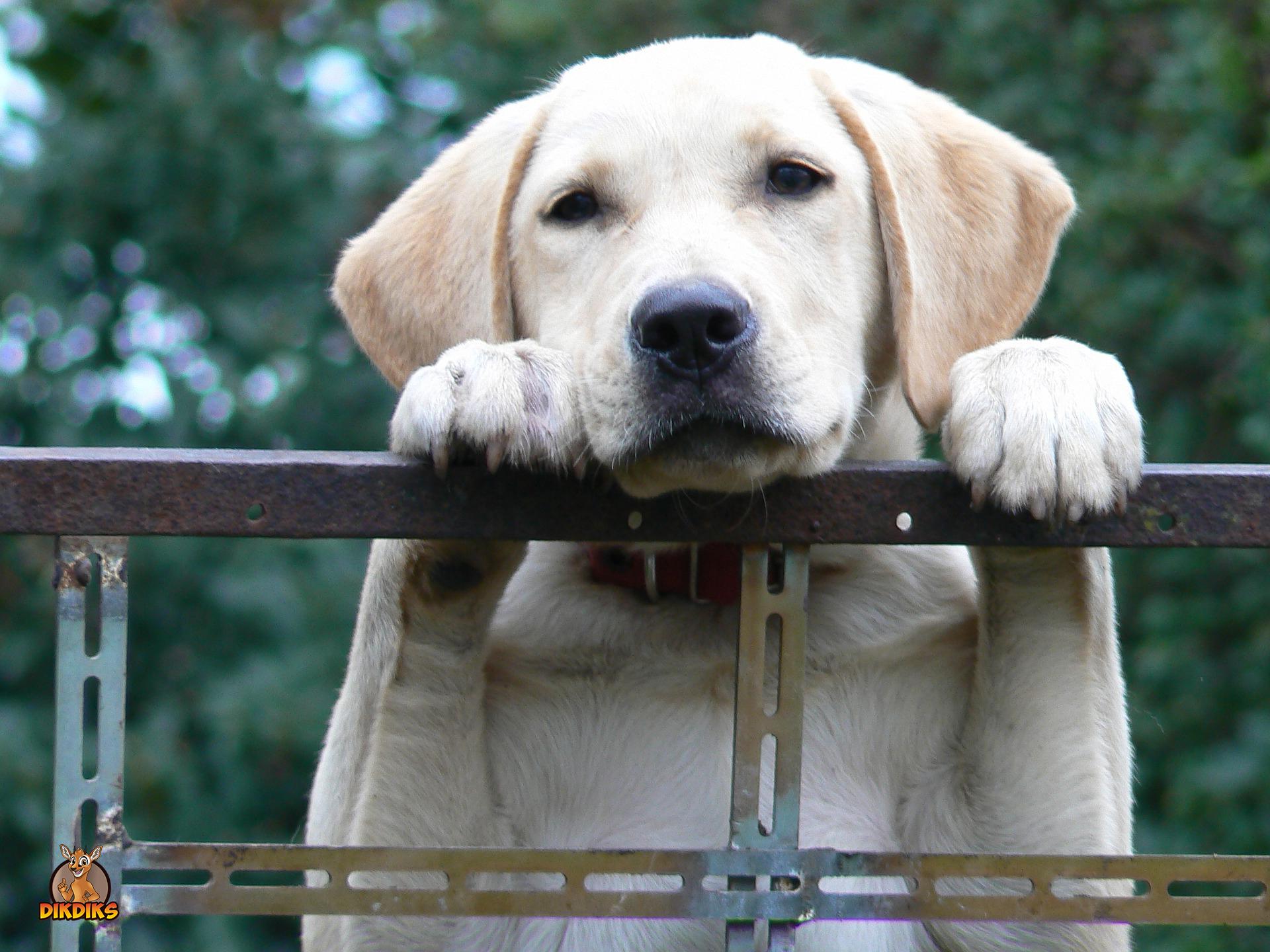 Labrador-Retriever-Rassebeschreibung