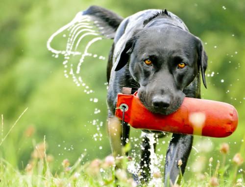 Das Training für Deinen Labrador Retriever