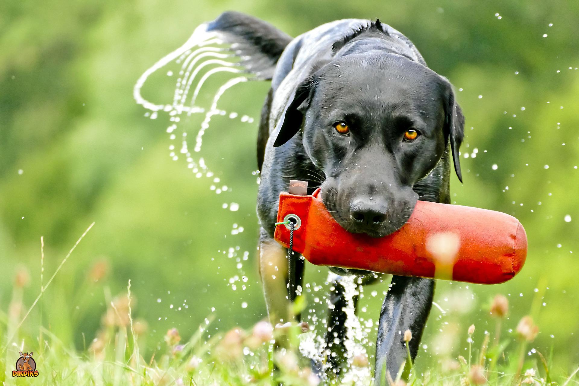 Labrador-Retriever-Training