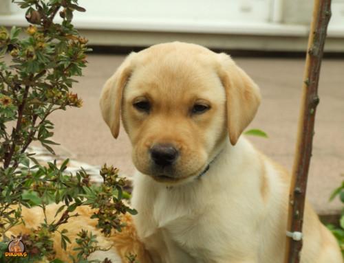 Deinen Labrador Retriever Welpen richtig erziehen – So klappt es