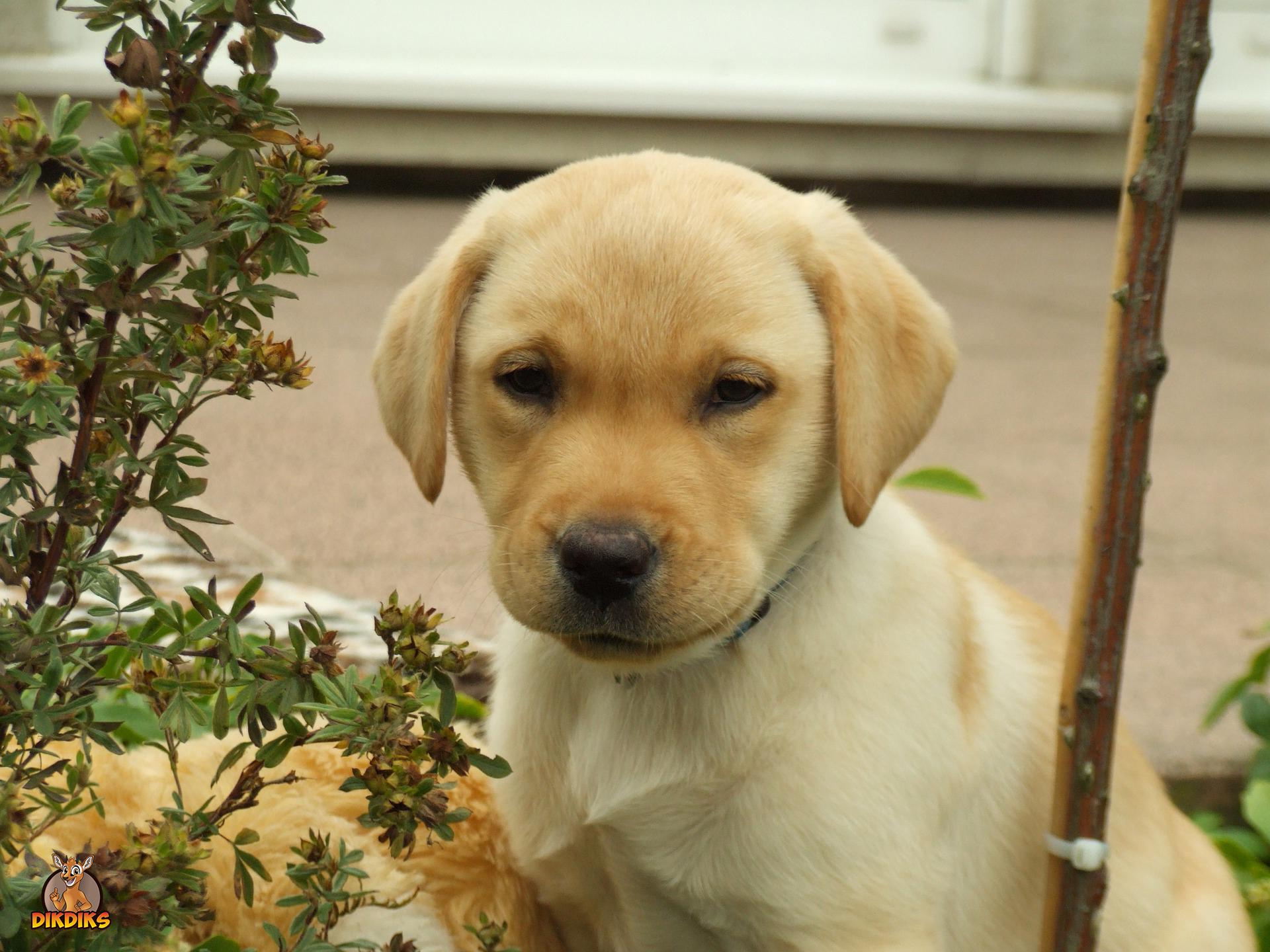 Labrador-Retriever-Welpe-Erziehung