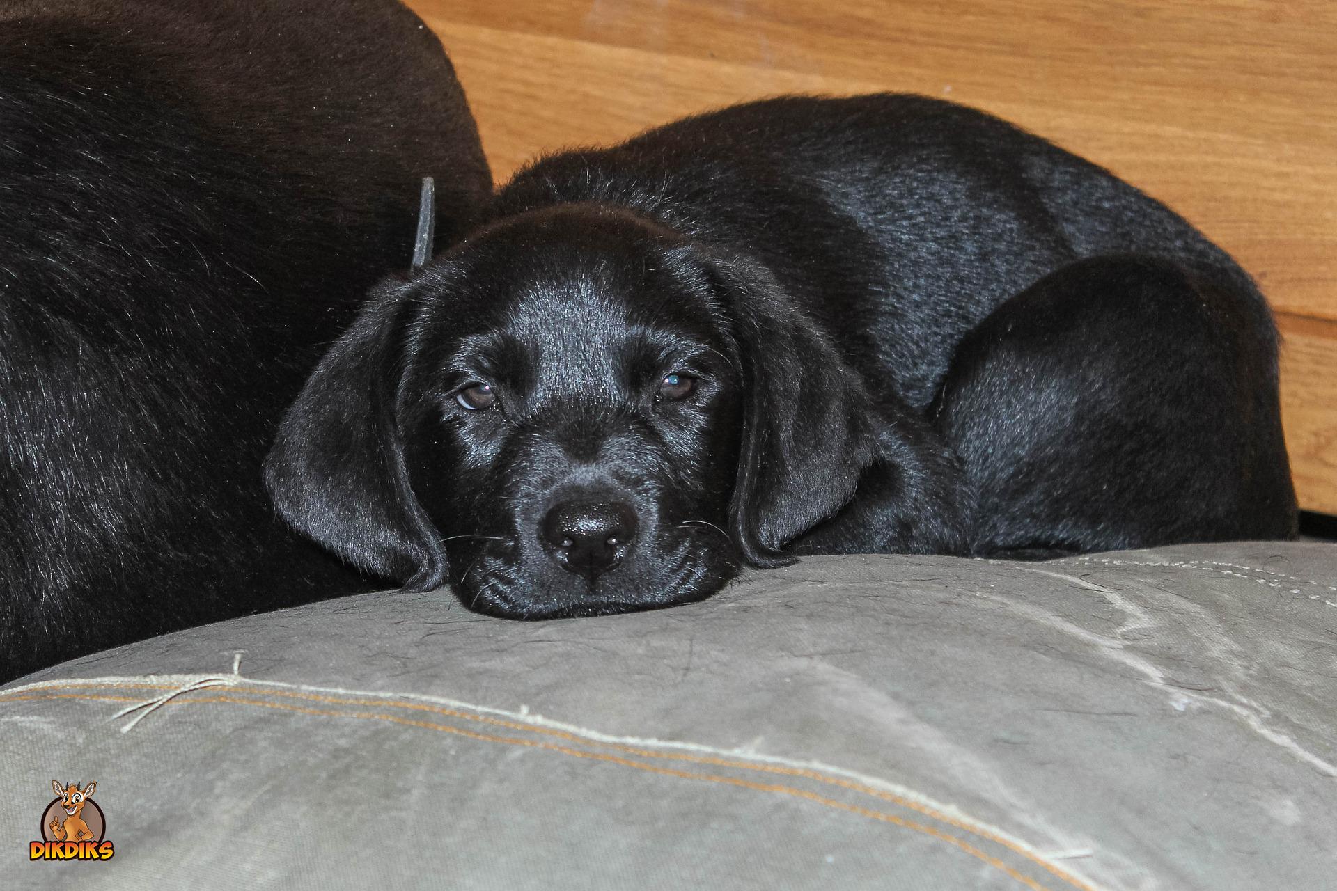 Labrador-Retriever-Welpe