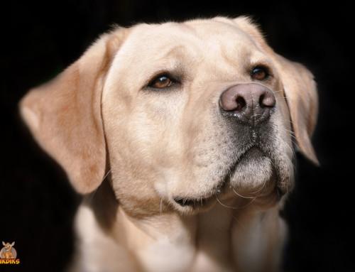 Die Erziehung Deines erwachsenen Labrador Retrievers