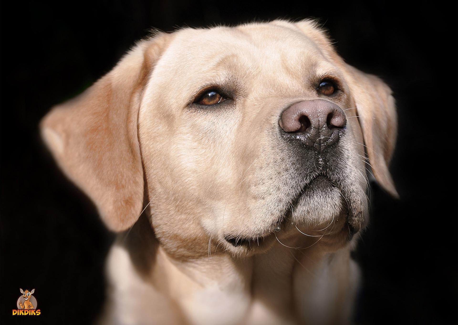 Labrador-Retriever-erwachsen