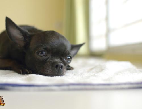 Rassebedingte Krankheiten deines Chihuahuas