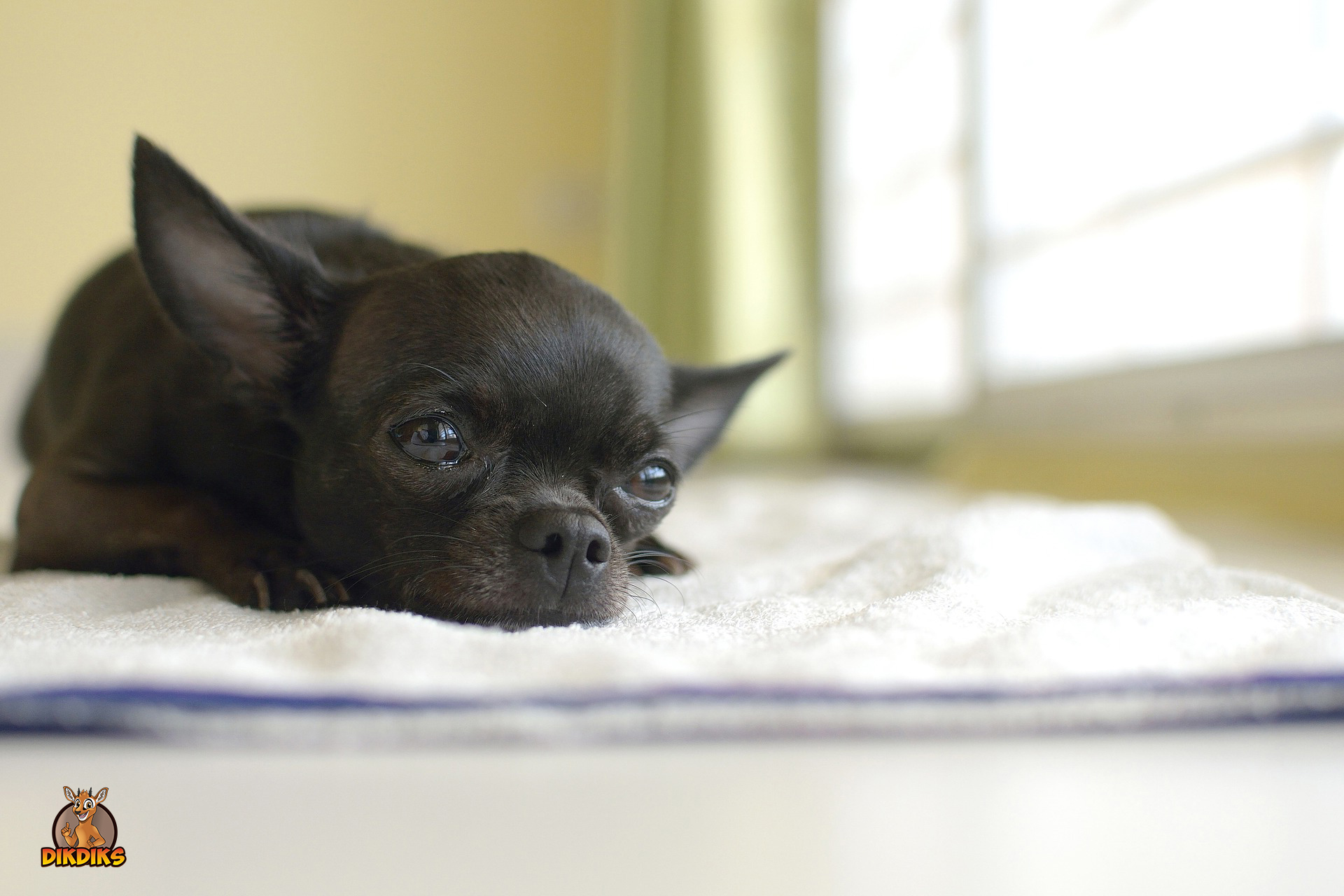 Rassebedingte-Krankheiten-beim-Chihuahua