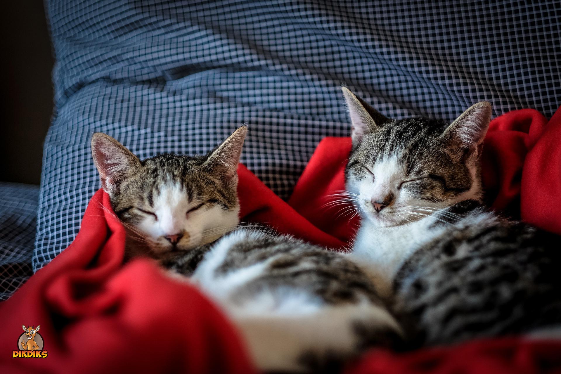 Erwachsene-Europäisch-Kurzhaar-Katzen