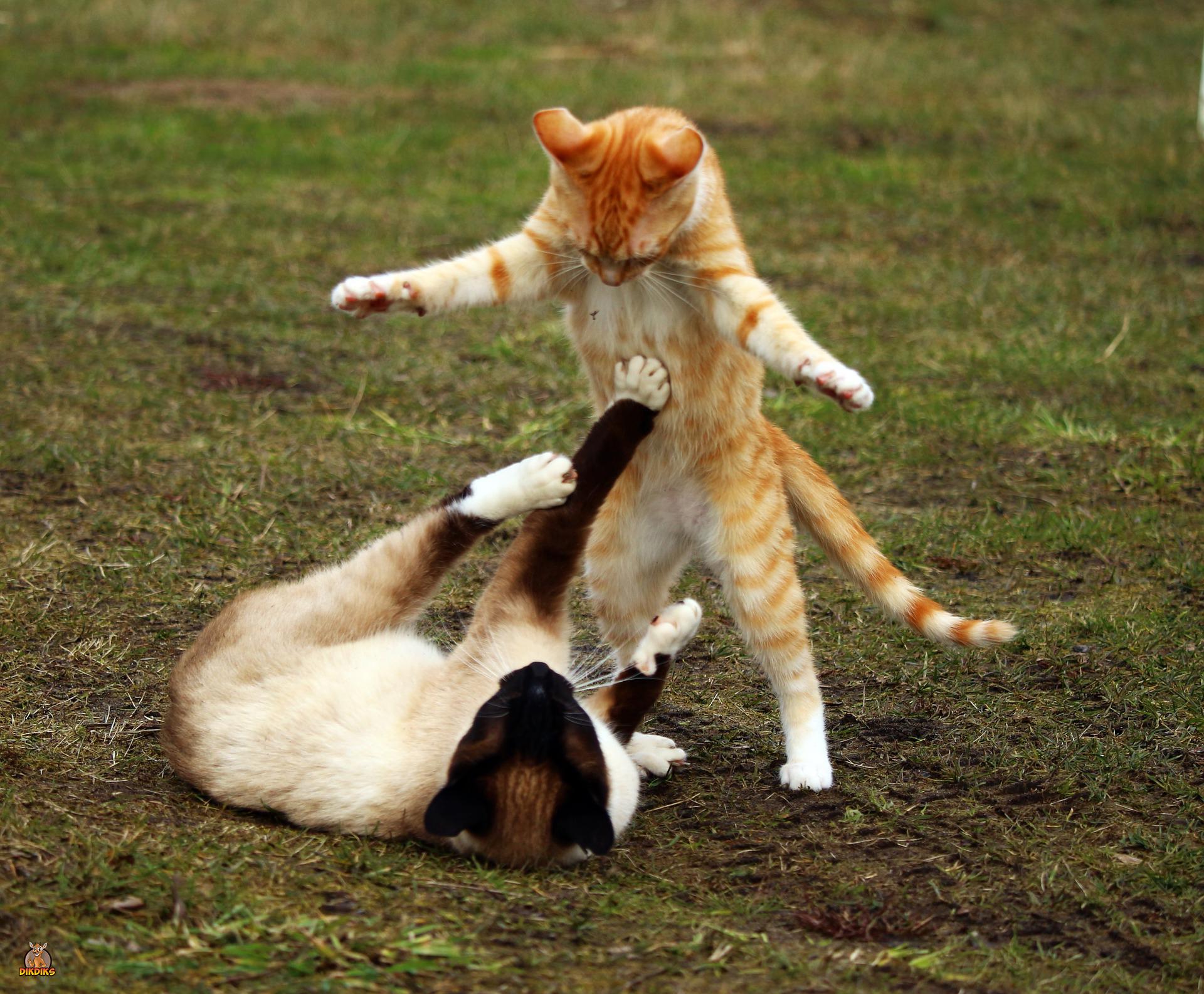 Erwachsene-Siamkatzen
