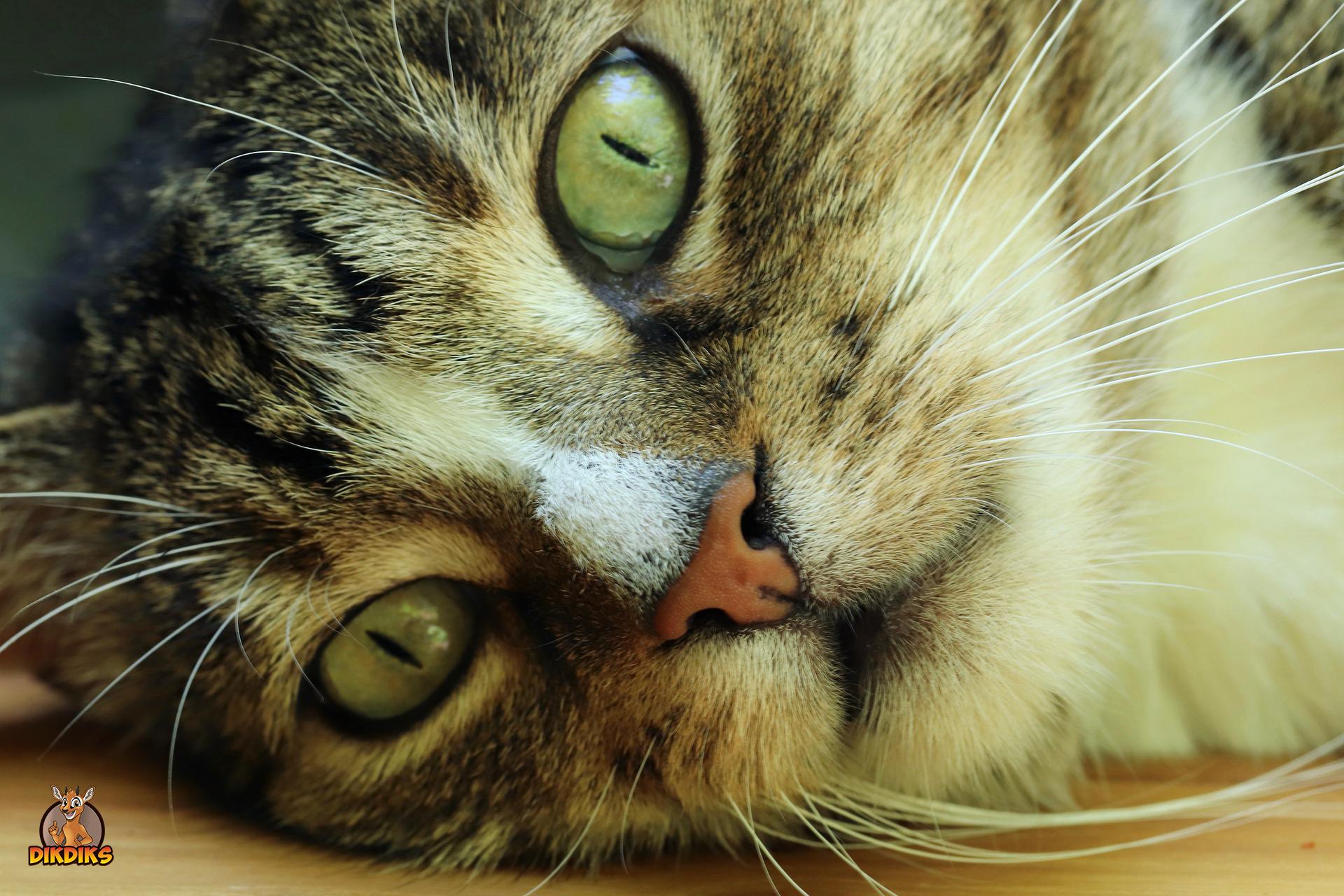 Europäisch Kurzhaar Katze
