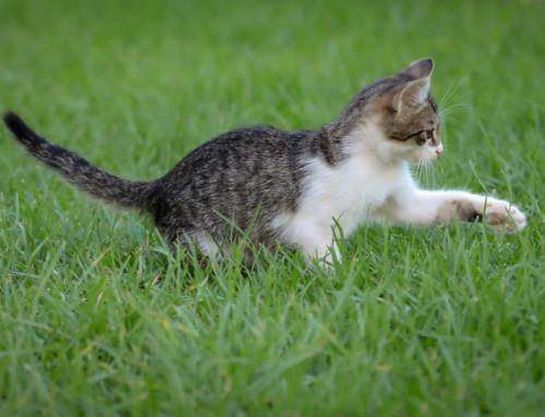 Dein Europäisch Kurzhaar Katzenbaby richtig erziehen – So klappt es