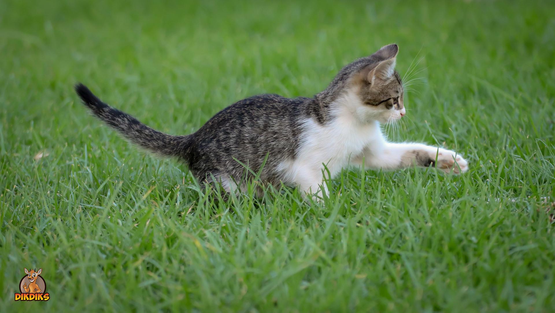 Europäisch-Kurzhaar-Kitten-Erziehung