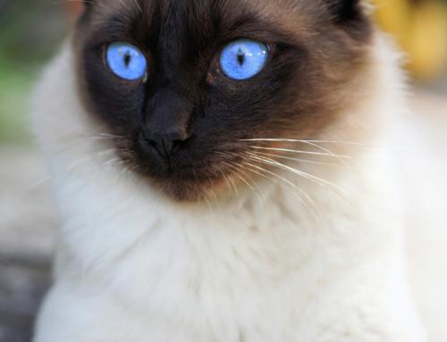 Rassebedingte Krankheiten Deiner Siamkatze