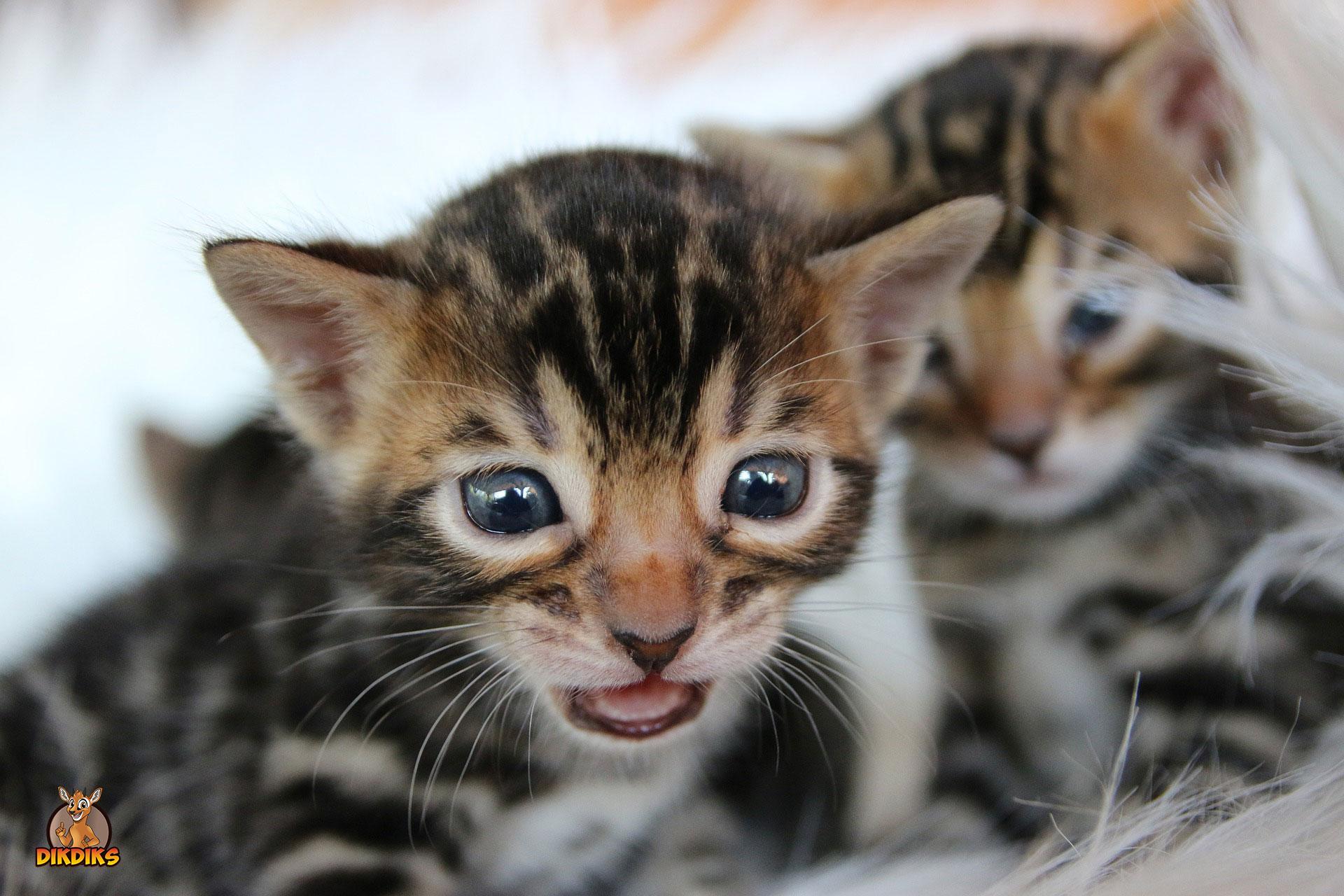 Bengalkatze-Baby