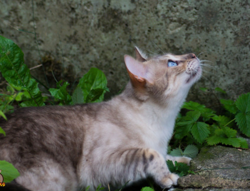 Rassebedingte Krankheiten Deiner Bengalkatze