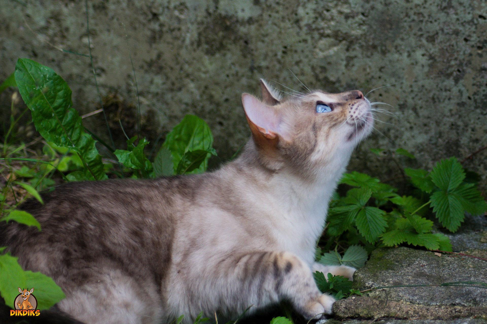 Bengalkatze-Gesundheit