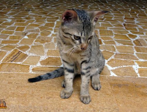 Dein Bengalkatzen Baby richtig erziehen – So klappt es