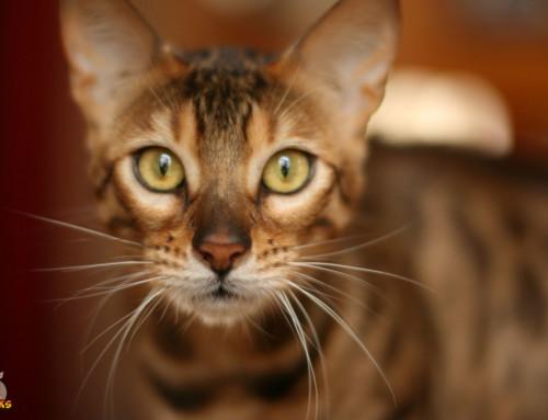 Die Erziehung Deiner erwachsenen Bengalkatze