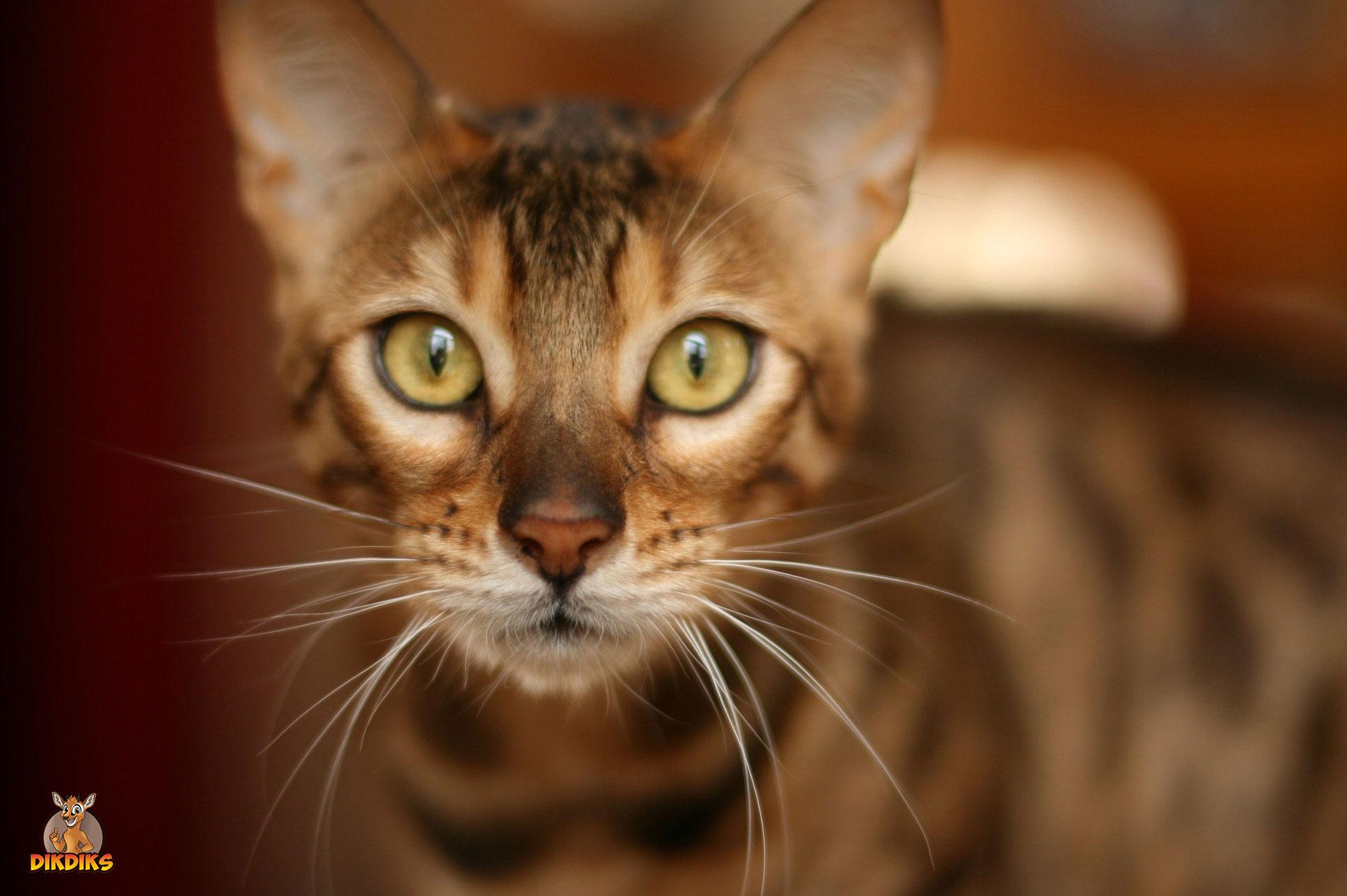 Erwachsene-Bengalkatze-Erziehung