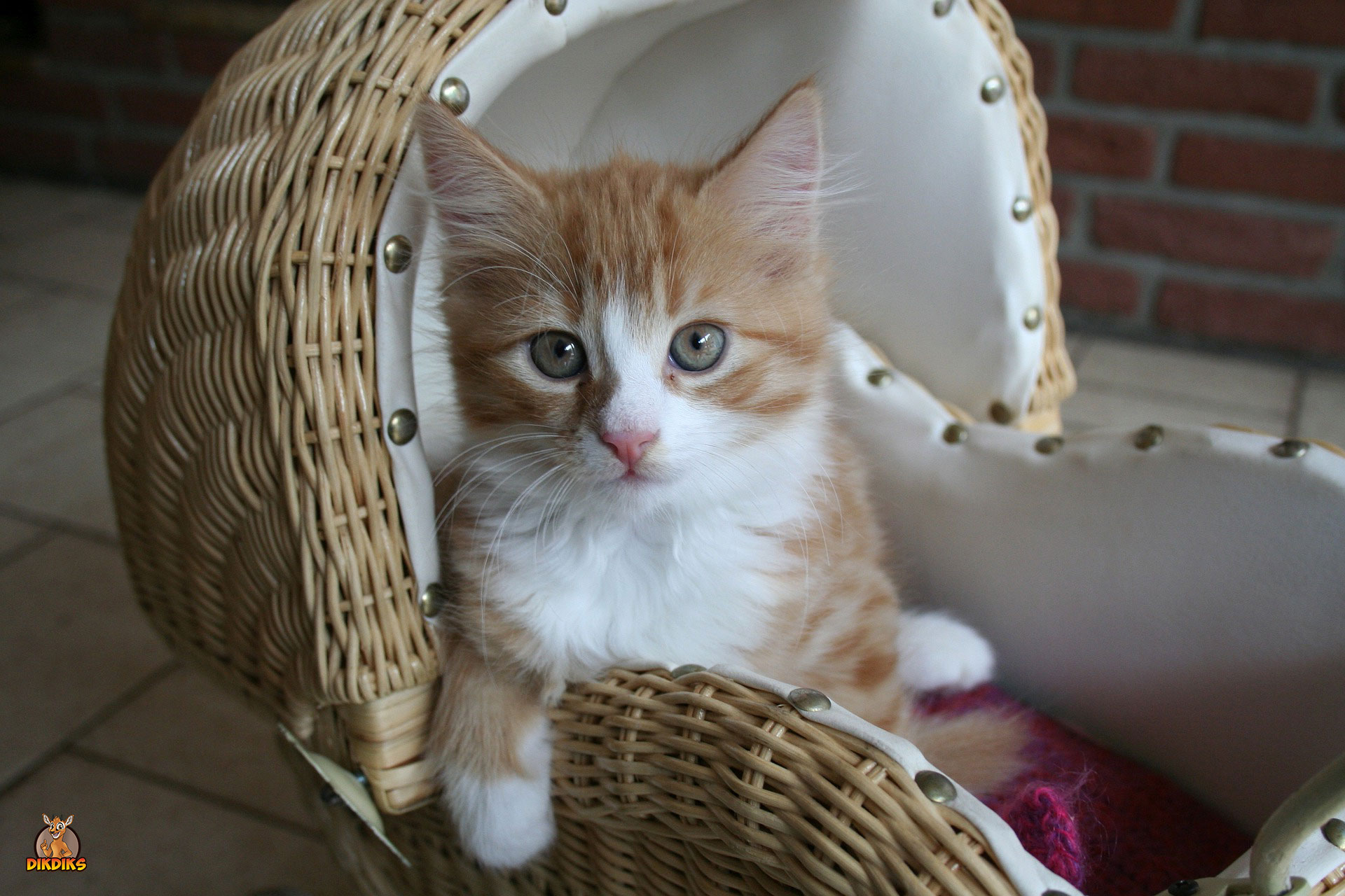 Maine-Coon-Kitten-Erziehung