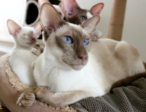 Dein Siamkatzen Baby richtig erziehen – So klappt es