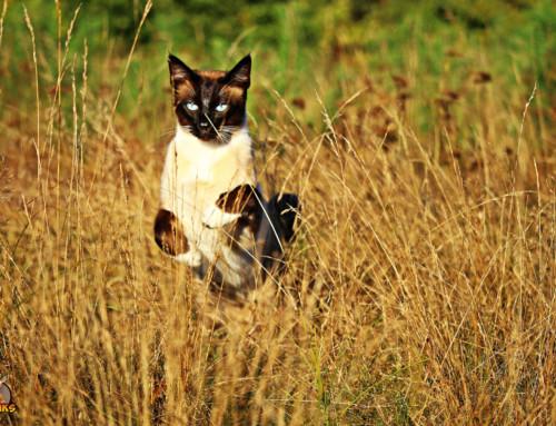 Das Training für Deine Siamkatze
