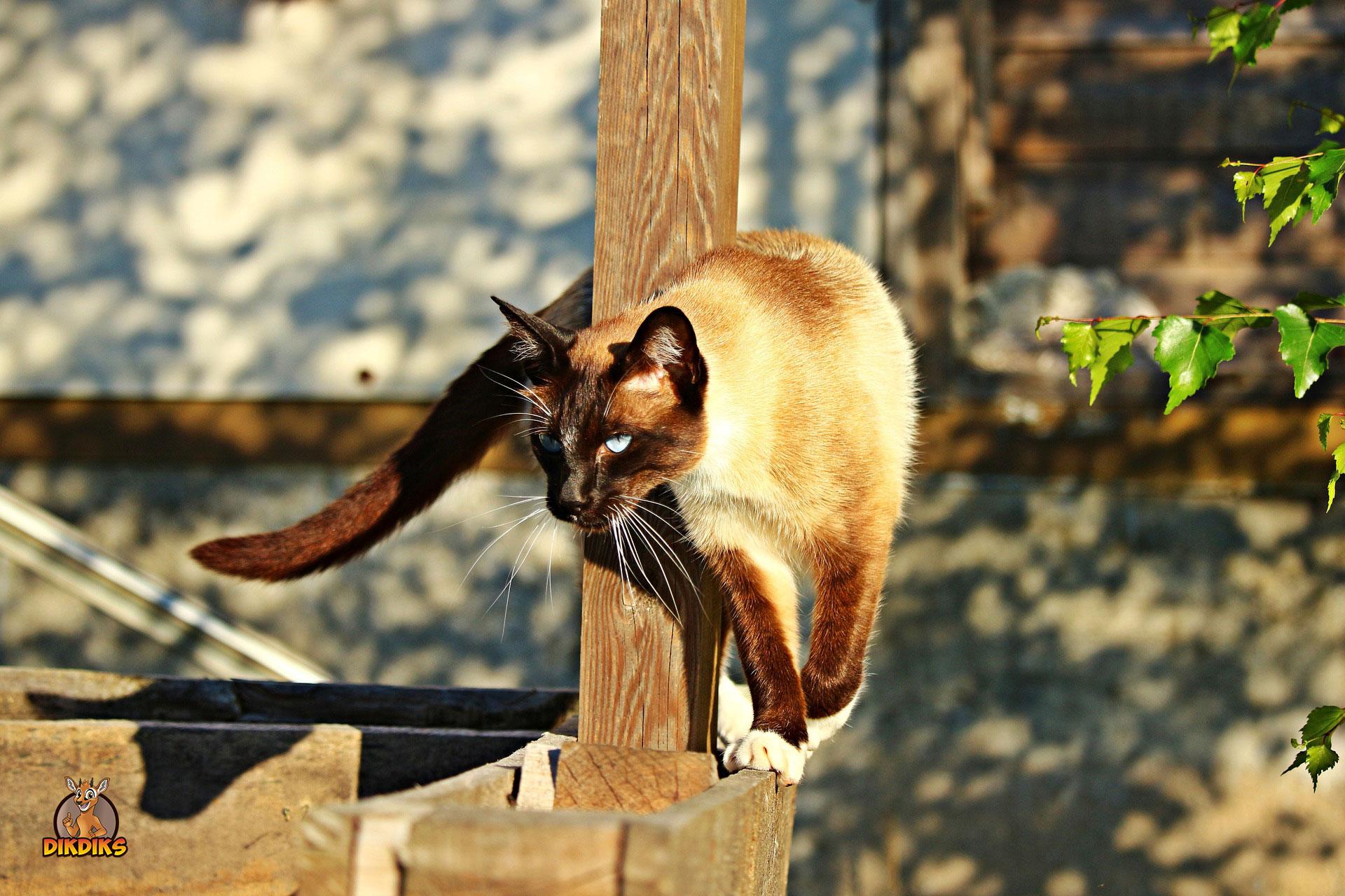 Training-mit-der-Siamkatze