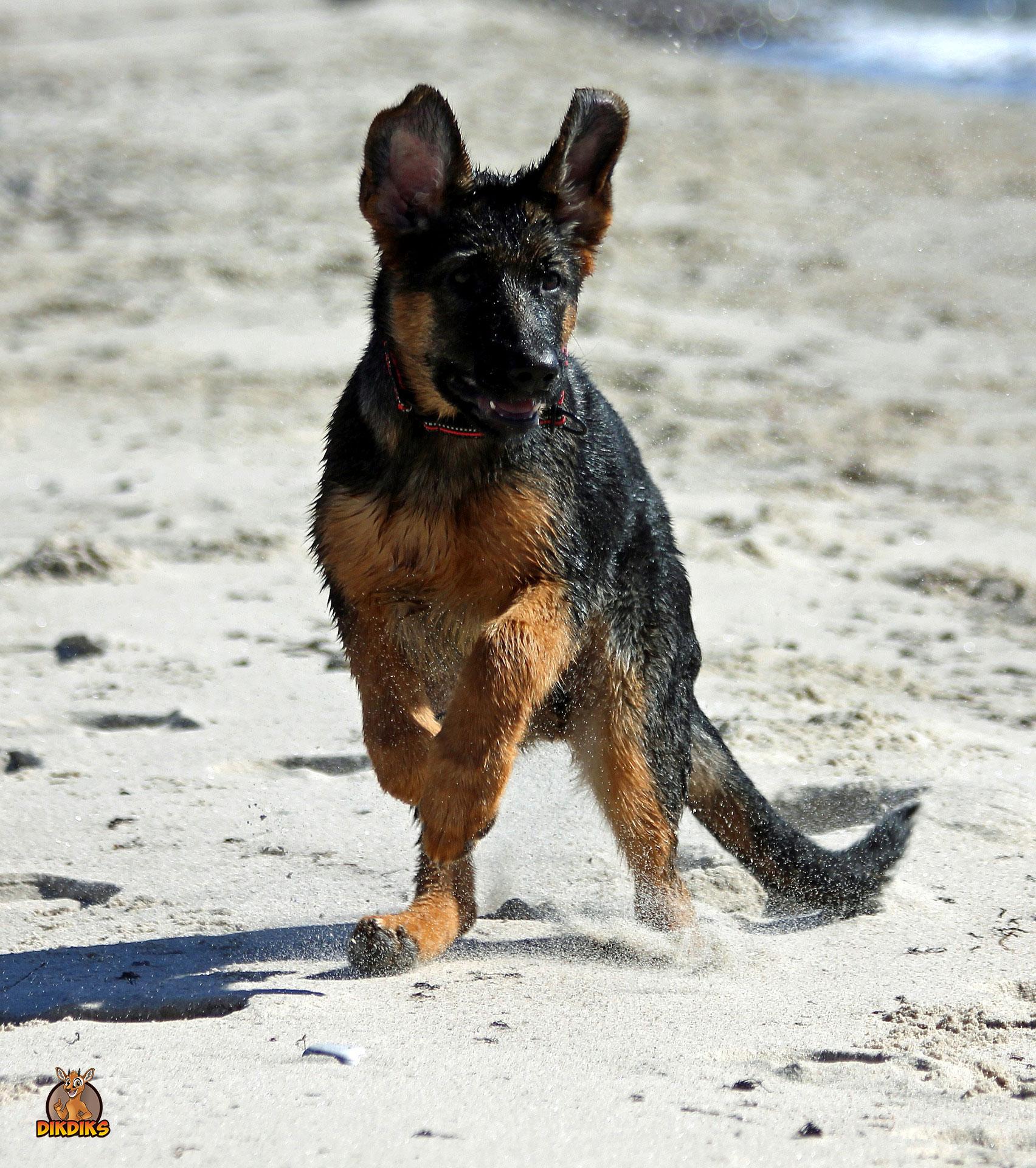Deutscher-Schäferhund-Welpe