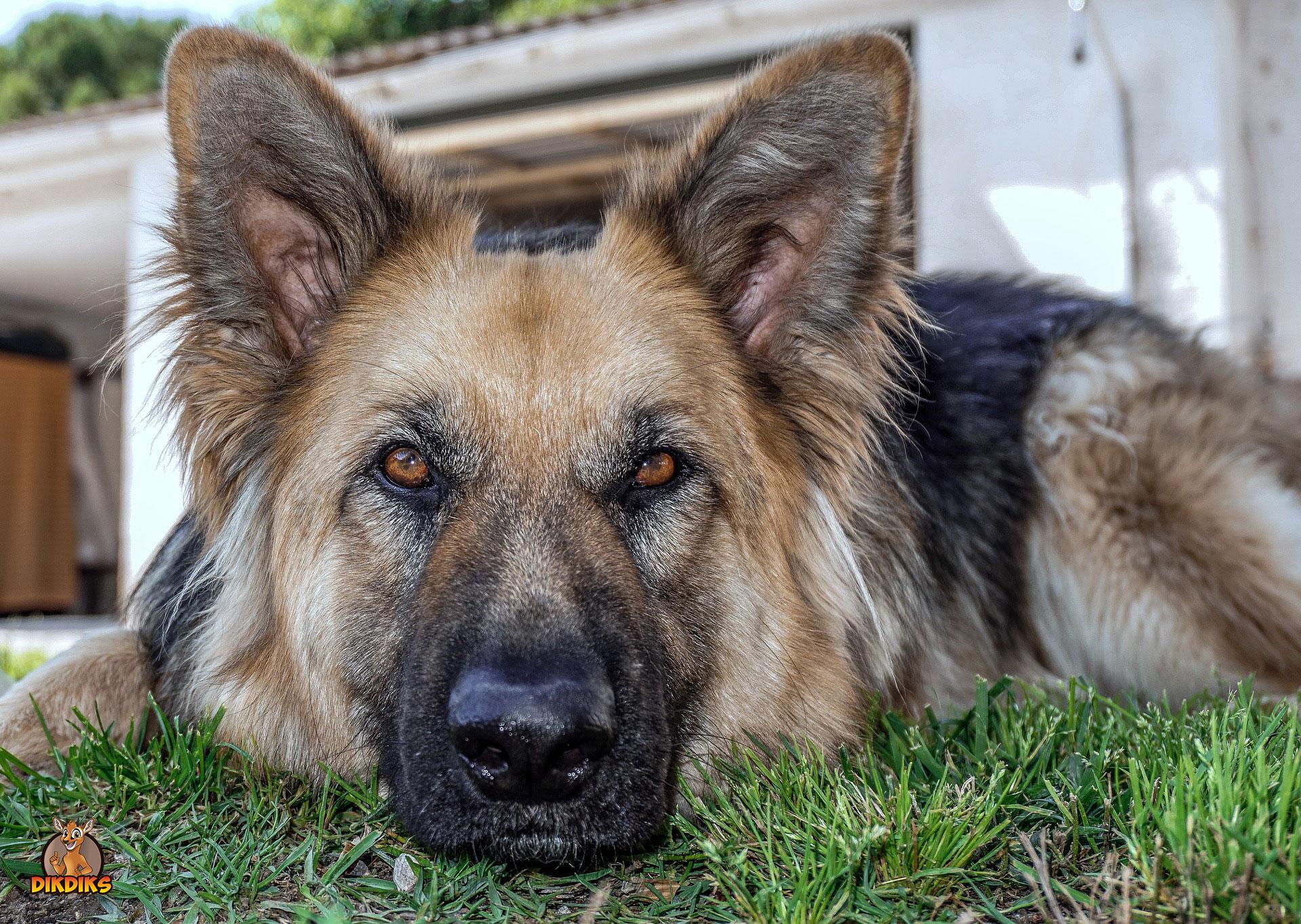 Erwachsene-Deutscher-Schäferhund-Erziehung