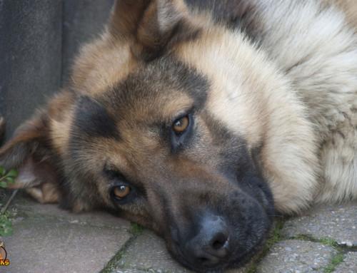 Rassebedingte Krankheiten Deines Deutschen Schäferhundes