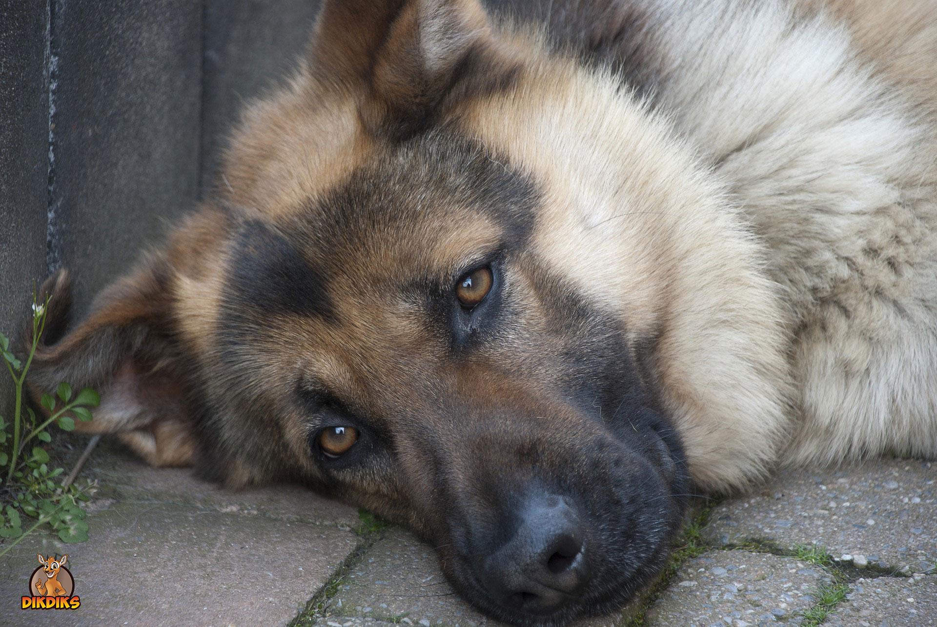 Rassebedingte-Krankheiten-beim-Deutschen-Schäferhund