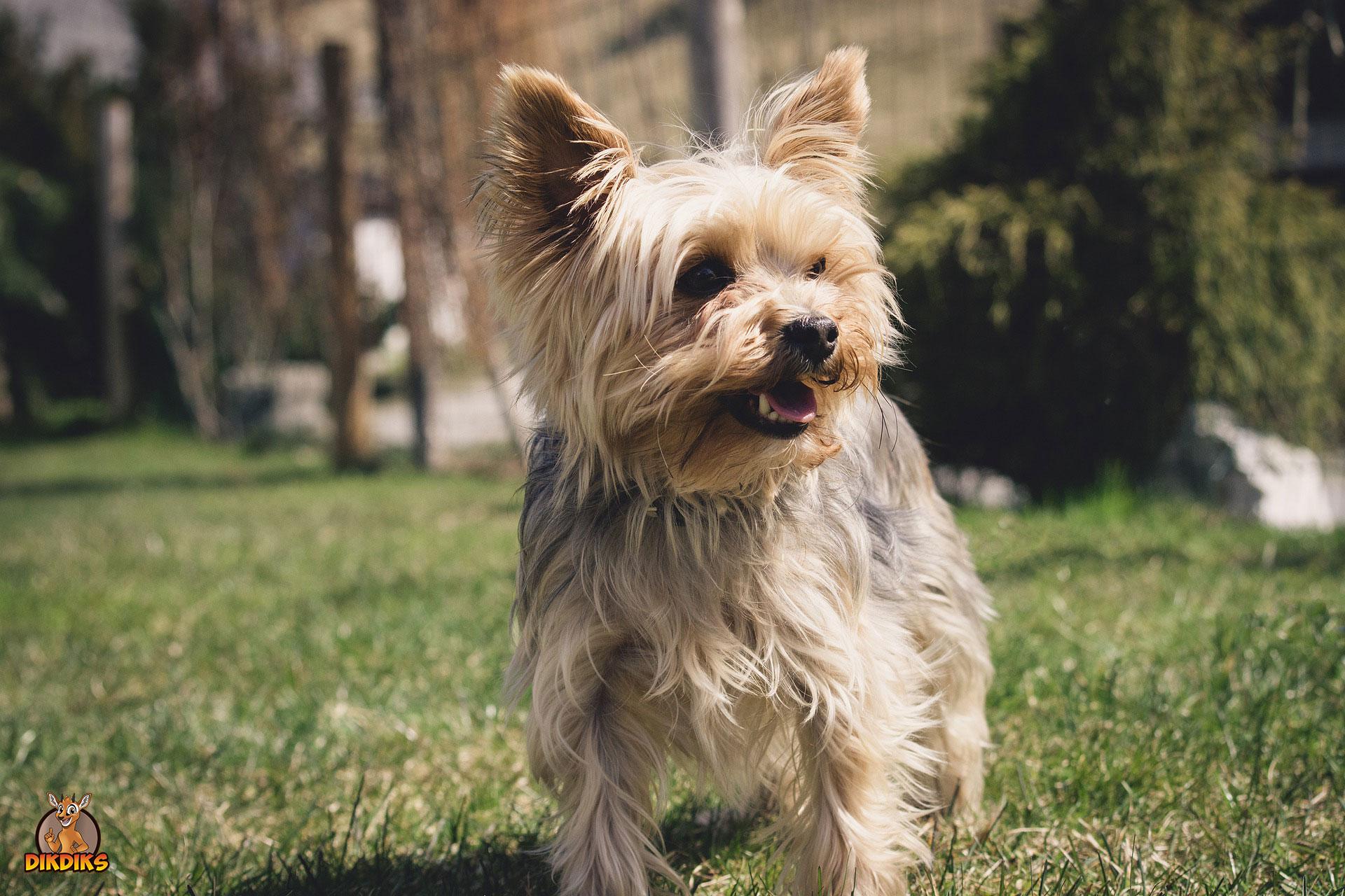 Yorkshire-Terrier-Charakter