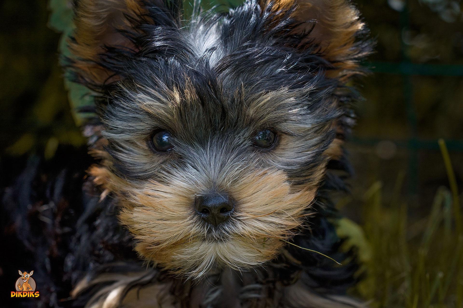 Yorkshire-Terrier-Rassebeschreibung