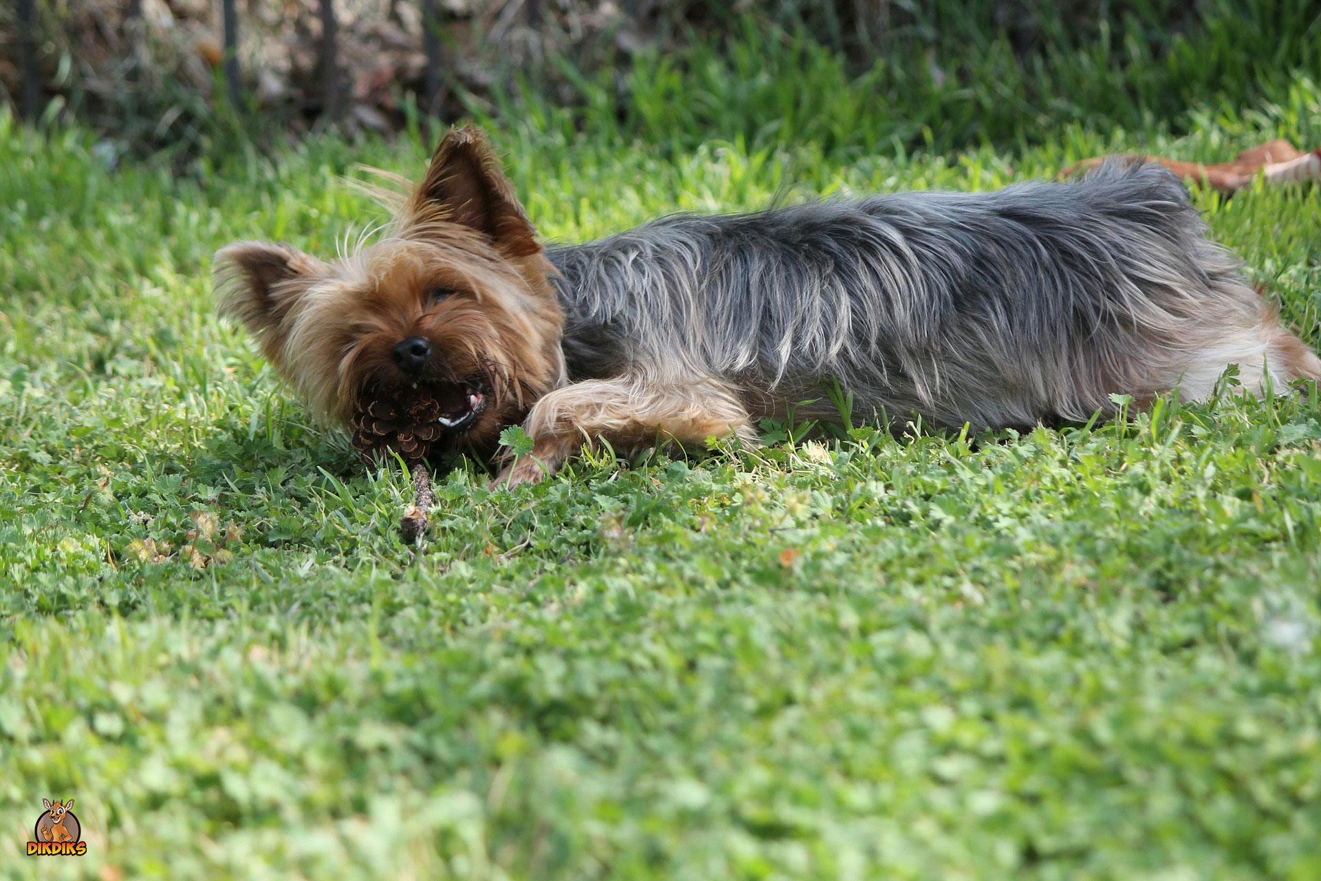 Erwachsenen-Yorkshire-Terrier-Erziehung