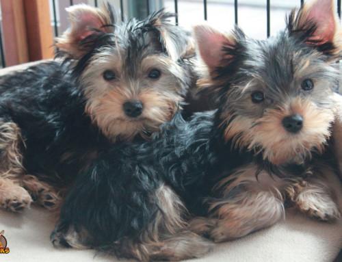 Rassebedingte Krankheiten Deines Yorkshire Terriers