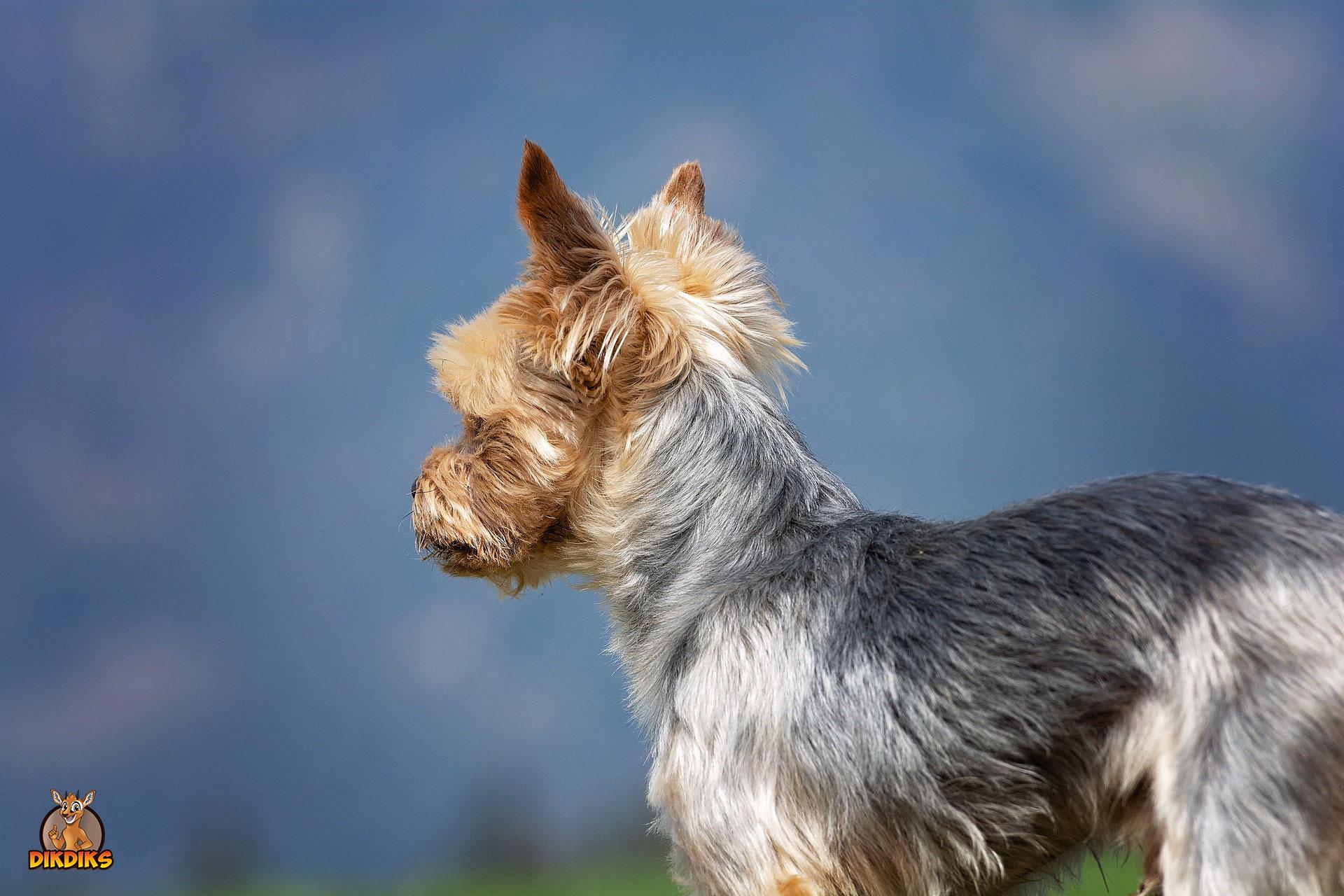 Yorkshire-Terrier-Bleib-Kommando