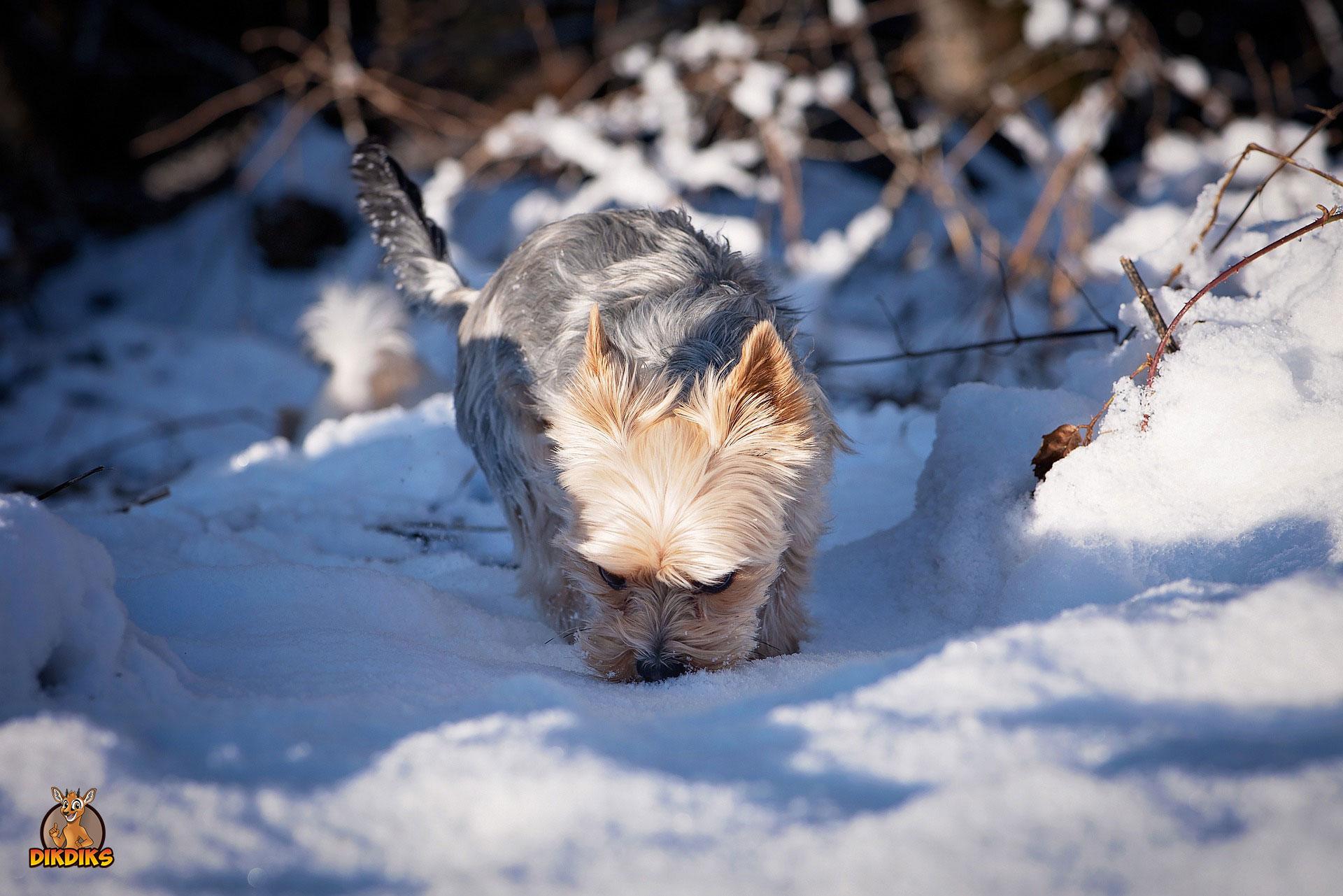 Yorkshire-Terrier-Sport