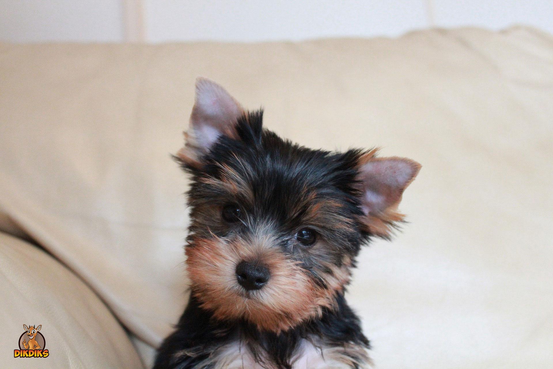 Yorkshire-Terrier-Welpen-Erziehung
