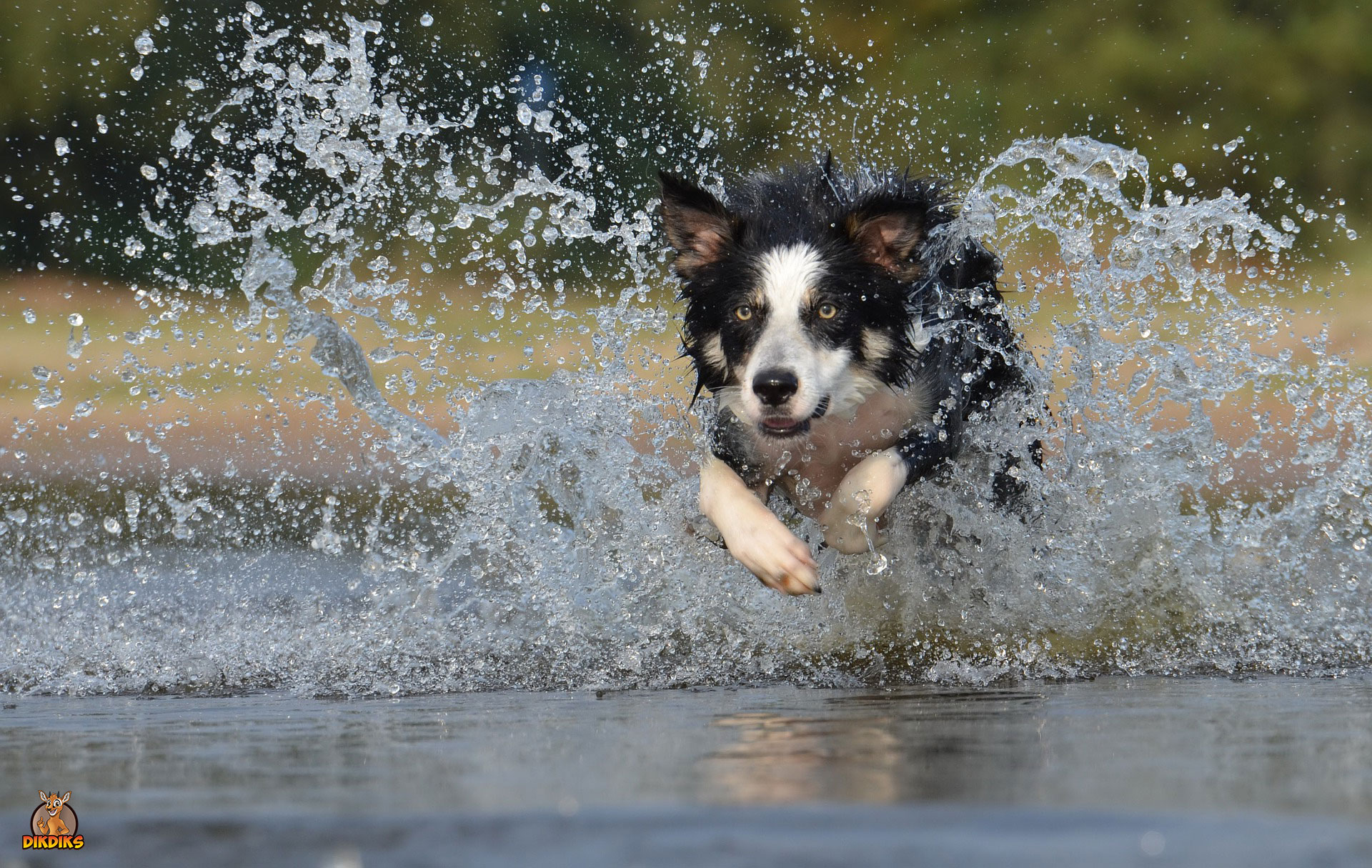 Border-Collie-Training