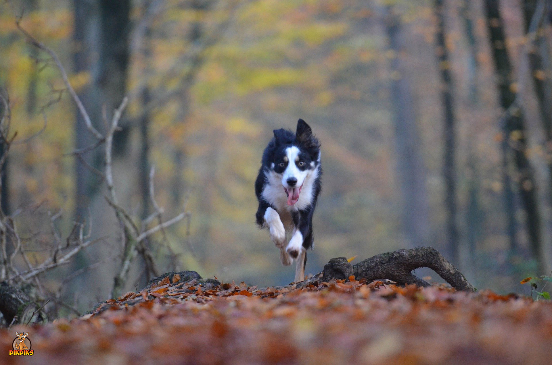 Border-Collie-rennt-durch-den-Wald