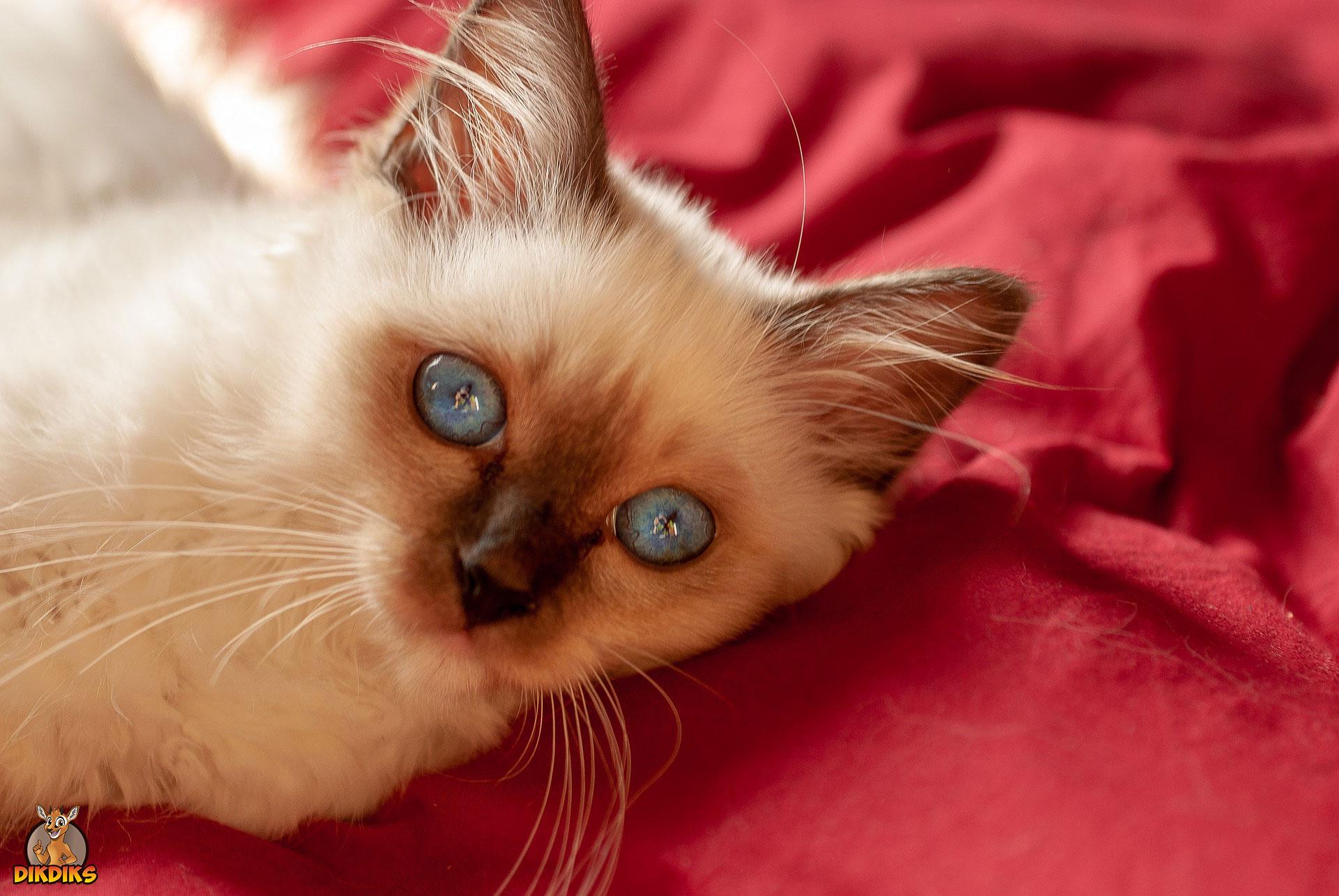Heilige-Birma-Kitten-Erziehung